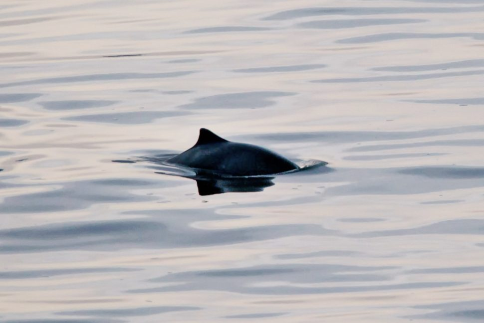 Harbour porpoise surfaces off Whytecliff Park