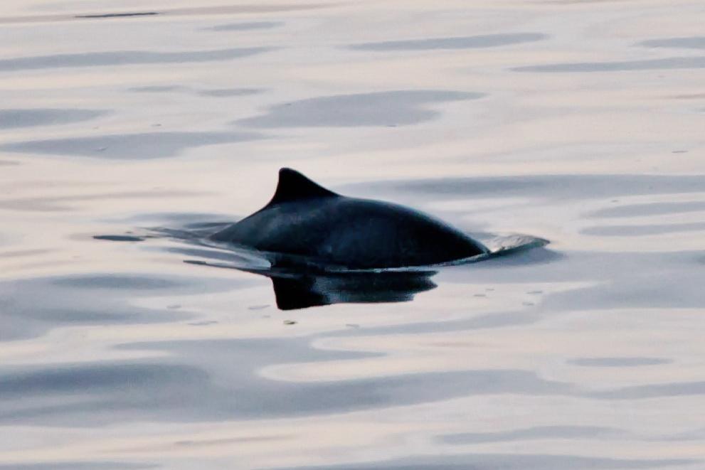 Harbour porpoise react to ocean noise - Porpoise ...