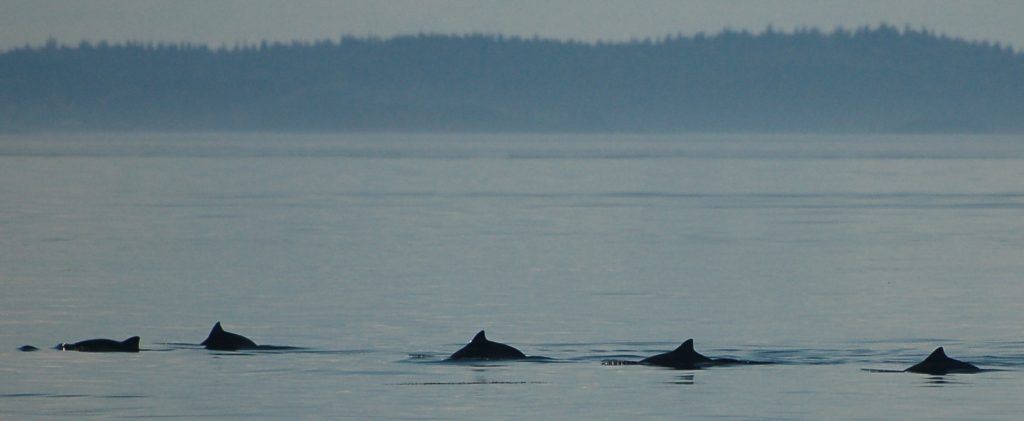 A group of harbour porpoise in the Bay of Fundy