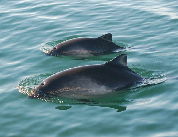 Harbour Porpoise Mother and Calf on the surface, Photo by Danielle Dion